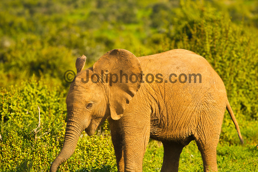 Port Elizabeth, South Africa (Sunday, July 17, 2011) - Elephant Calf. Addo Elephant National Park. The park is a sanctuary to a multitude of game species and abundant birdlife including over 500 Elephants, Lions, Black Rhinos, Buffalos, Leopards and Zebra.  Photo: joliphotos.com