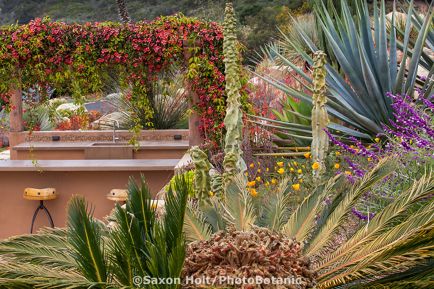Cycad = ?.  Agave = ?; gnarly cactus = ? Dasylirion (?) beyond kitchen = same a next photo with poppy.  Climate tolerant, drought tolerant summer-dry California garden with colorful succulent textures; Schaff garden