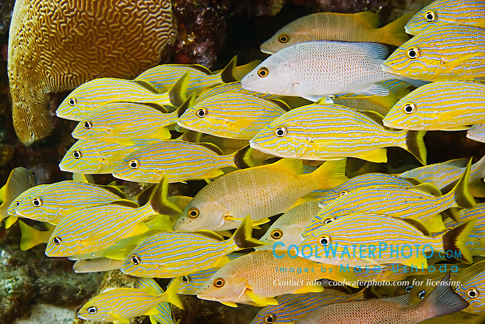 Schooling French Grunts, Haemulon flavolineatum, Bluestriped Grunts, Haemulon sciurus, Schoolmasters, Lutjanus apodus, and Gray Snappers, Lutjanus griseus, over Sugar Wreck, the remains of an old sailing ship that grounded many years ago, West End, Grand Bahamas, Atlantic Ocean