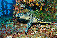 Hawksbill Turtle, Eretmochelys imbricata, HMAS Brisbane Artificial Reef, Mooloolaba, Queensland, Australia, South Pacific Ocean