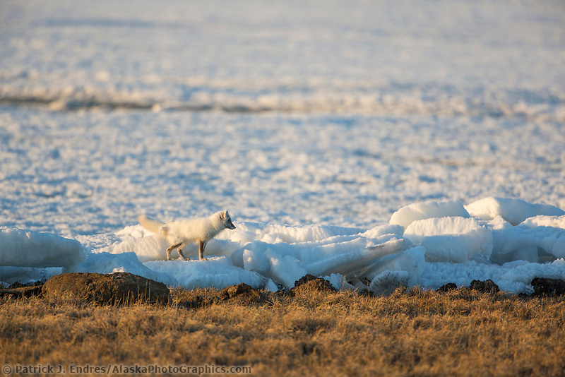 Arctic fox on the snow and ice remaining during the spring melt on Colleen lake in Prudhoe Bay, Alaska.