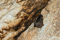 Common Fruit Bats, Artibeus jamaicensis, also called the Jamaican Fruit Bat or Mexican Fruit Bat, roost inside the Caverna de Panaderos (Baker's Cave) near Gibara, Cuba