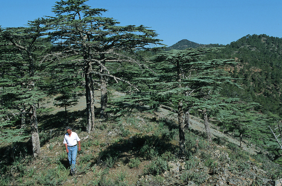 Cedar valley on the western Troodos hinterland. This cool valley od indigenous cypriot cedars (cedrus brevifolia) is home to a large number of these unusual trees - close cousins to the better known Lebanese cedars.