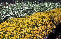 Tagetes 'Lemon Gem' marigolds and Nicotiana flowering tobacco, yellow, orange and white annual flower garden