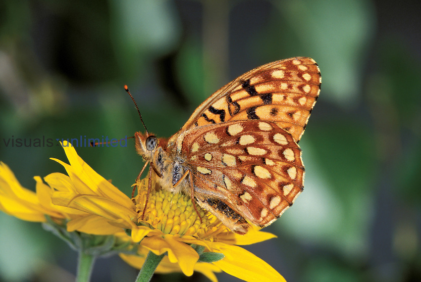 Atlantis Fritillary (Speyeria atlantis), Mill Creek, Sonora Pass, California, USA