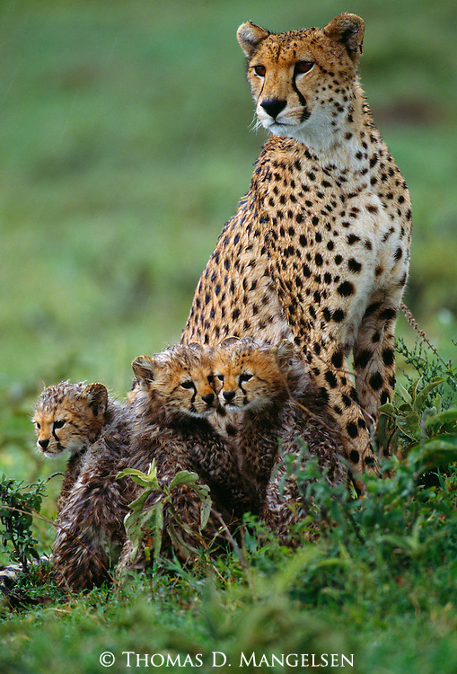 A cheetah family sits on the savannah in the rain in Tanzania.
