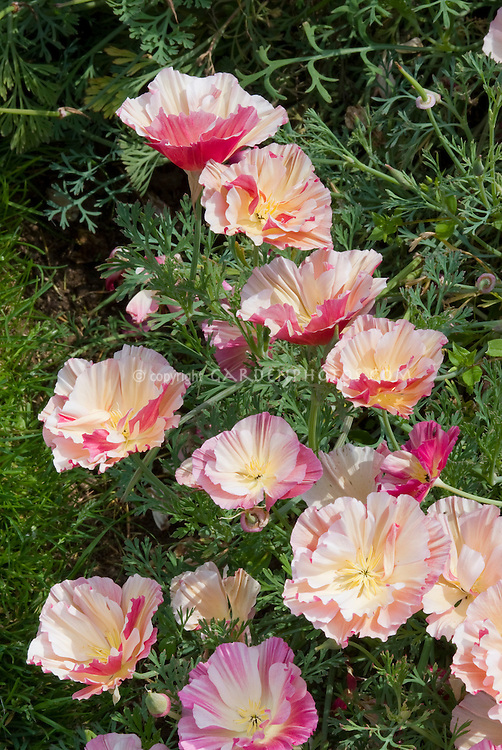 Eschscholzia Apple Blossom aka Appleblossom in pink flowers, California Poppy