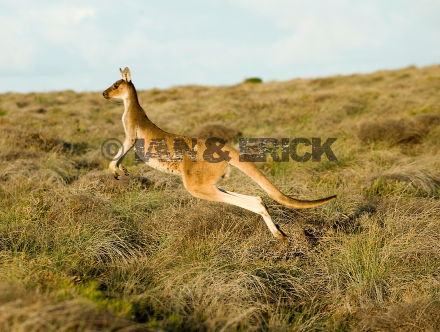 Kangaroo hoping away in Kalbarri