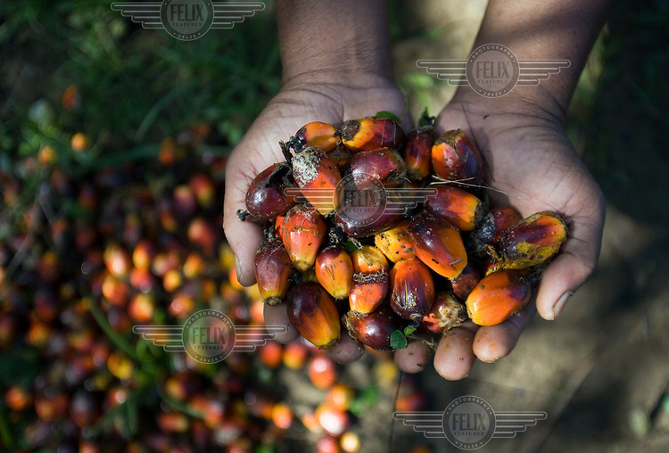 A worker shows palm oil kernels in his hands.