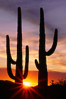 Saguaros at sunset<br />