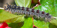 Gypsy Moth (Lymantria dispar) caterpillar larvae insect pest closeup macro, very damaging agricultural and forestry pest, instar