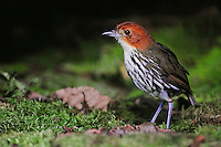 Chestnut-crowned Antpitta (Grallaria ruficapilla), adult,Papallacta, Ecuador, Andes, South America