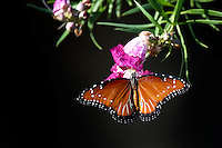 Queen Butterfly on blooming Desert Willow