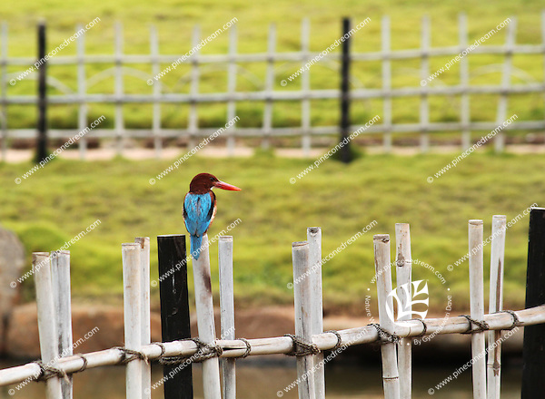 Stock image : Kingfisher sitting on a wooden fence in a a garden in India.<br />