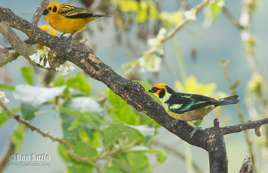 Flame-faced tanager, Tangara parzudakii lunigera (right), and golden tanager, Tangara arthus goodsoni. Tandayapa Valley, Ecuador
