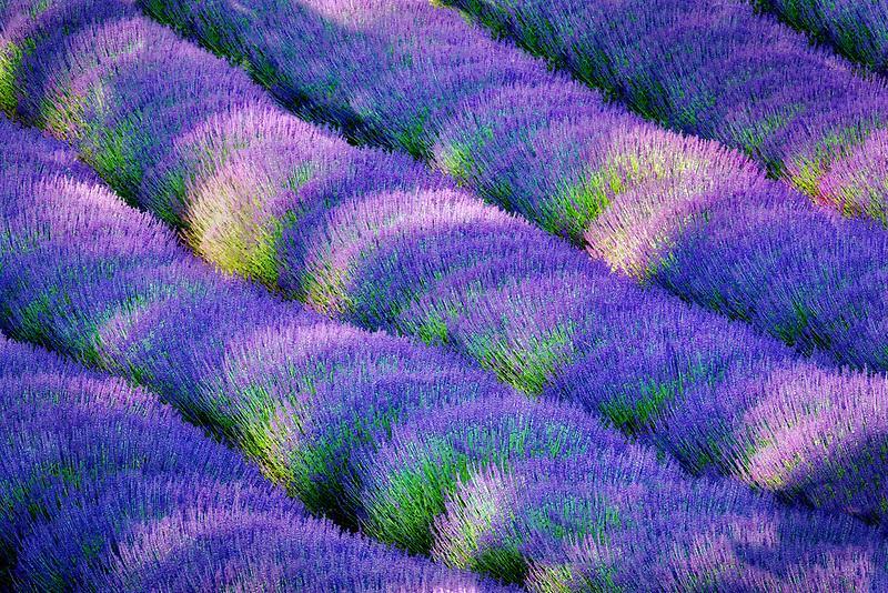 Rows of lavendar. Purple Haze Lavender Farm. Washington.