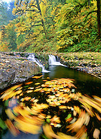 M00182M.tiff   Fall colored Big Leaf Maple leaves swirling in North Fork Silver Creek. Silver Falls State Park, Oregon