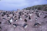Rockhopper Penguins, New Island, Falklands