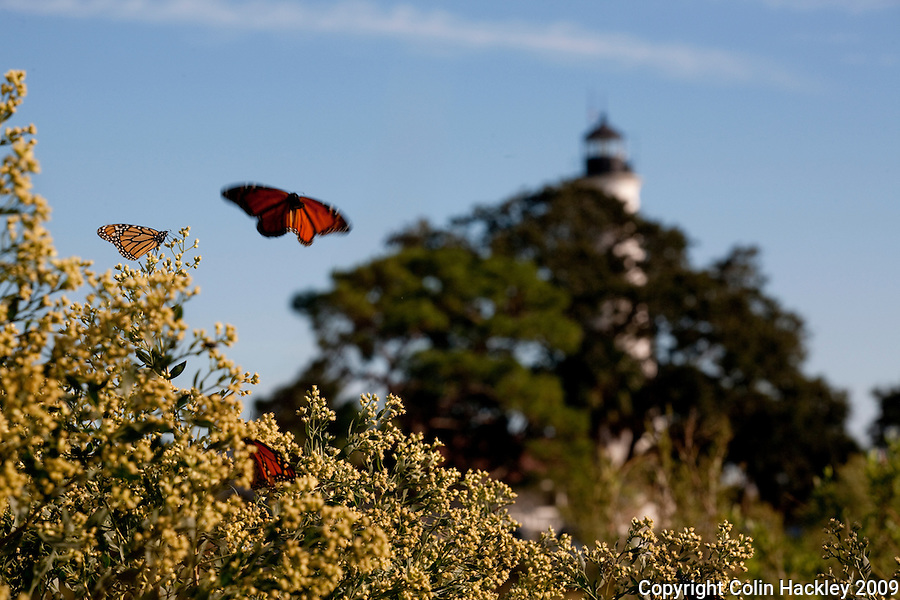 ST. MARKS (FLA) NATIONAL WILDLIFE REFUGE 10/24/09-ST.MARKS-102409 HACKLEY-Monarch butterflies take a break from their annual migration to dine on Salt Bush blooms near the lighthouse at the St. Marks National Wildlife Refuge...COLIN HACKLEY PHOTO