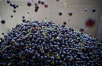 erath  160436 8/30/09- Grapes fall into a bin after going through a destemer at Dos Cabezas WineWorks (CQ) in Sonoita, Ariz. (Pat Shannahan/ The Arizona Republic)