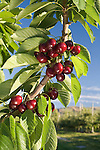 "Skeena Cherries at Shirley""s LLC Orchard in East Wenatchee, Washington..Douglas County"