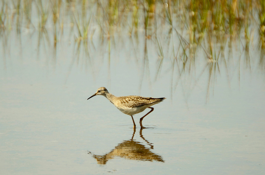 Not always found at the ocean, this species of sandpiper can be found in freshwater swamps and flooded fields.