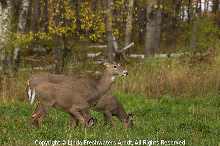 White-tailed doe with her fawns in a northern Wisconsin field.