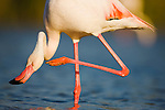 Greater Flamingo (Phoenicopterus roseus) in lagoon, scratching neck,  Pont Du Gau, Camargue, France