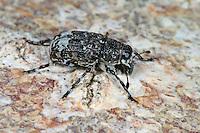 Breitrüssler, Tropideres albirostris, fungus weevil, Breitrüssler, Anthribidae, fungus weevils