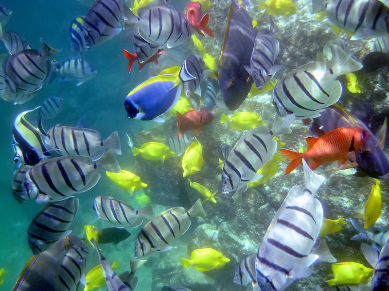 Variety of tropical fish. Hawaii, The Big Island