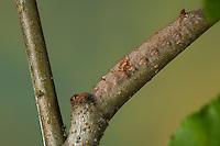 Kupferglucke, Kupfer-Glucke, Raupe, Gastropacha quercifolia, Phalaena quercifolia, lappet, caterpillar, La Feuille morte du chêne, Glucken, Lasiocampidae. Tarnung, Tarntracht, Verbergetracht, Camouflage, Mimese, mimesis