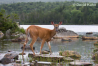 0623-1029  Northern (Woodland) White-tailed Deer Eating Wetland Grass, Odocoileus virginianus borealis  © David Kuhn/Dwight Kuhn Photography
