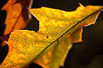 Oak Leaves, background, backlighting