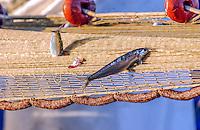 Pesca di Alici - Masculina da magghia