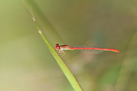 341100003 a wild male desert firetail damselfly telebasis salva perches on duckweed on a small pond on beto gutierrez santa clara ranch hidalgo county lower rio grande valley texas united states