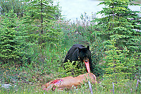 Black Bear (Ursus americanus) feeding on elk carcass.  Northern Rockies.  June.