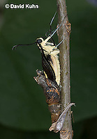 1020-0810  Giant Swallowtail Butterfly Emerging from Chrysalis (Life Cycle Series), Papilio cresphontes © David Kuhn/Dwight Kuhn Photography.