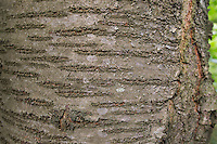 Vogel-Kirsche, Vogelkirsche, Süß-Kirsche, Süßkirsche, Süsskirsche, Kirsche, Rinde, Borke, Stamm, Baumstamm, Prunus avium, Gean, Mazzard, Cherry, bark, rind