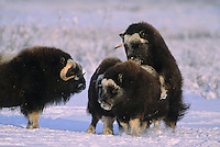 Wild Muskox, mating, Arctic National Wildlife Refuge, Alaska