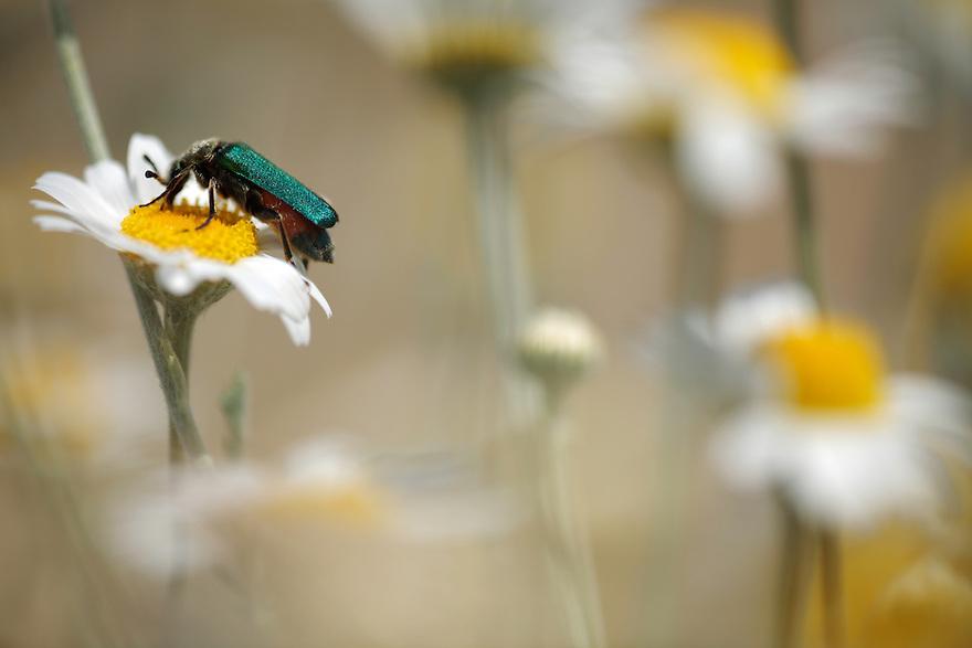 Green flower beetle on Corn Chamomile, Anthemis arvensis. Stenje region, Lake Macro Prespa (850m) <br /> Galicica National Park, Macedonia, June 2009<br /> Mission: Macedonia, Lake Macro Prespa /  Lake Ohrid, Transnational Park<br /> David Maitland / Wild Wonders of Europe