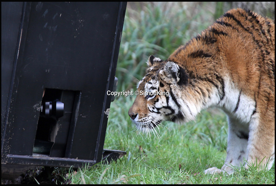 BNPS.co.uk (01202 558833)<br /> Pic: SimonKing/Longleat/BNPS<br /> <br /> ***Longleat Must Be Mentioned in Story***<br /> <br /> Up close and personal...<br /> <br /> Wildlife expert Simon King built a metal cage on to the side of a Land Rover to get up close and personal with deadly big cats at a safari park.<br /> <br /> The TV presenter used the contraption - similar to a shark cage - to safely photograph lions and tigers at Longleat Safari Park from just a few centimetres.<br /> <br /> His pictures are being displayed as part of an exhibition to mark the safari park's 50th anniversary.