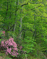 Shenandoah National Park, VA:  Pink Azalea (Rhododendron nudiflorum) against spring greens of the decidous forest