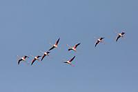 A flock of Lesser Flamingoes in flight over Djoudj Nature Reserve in northern Senegal