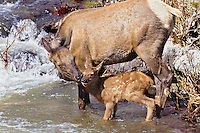Rocky Mountain elk cow with young calf (Cervus elaphus).  Western U.S.,  June.