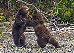 A pair of grizzly bear cubs entertain themselves by wrestling on a shoreline.  The eight month old siblings tussled with each other next to a lake as their mother fished for salmon.<br /> <br /> Play-fights like this one, which was caught on camera by amateur photographer Jenny Stevens at Chilko Lake in British Columbia, Canada, help give young bears valuable life skills.  SEE OUR COPY FOR DETAILS.<br /> <br /> Please byline: Jenny Stevens/Solent News<br /> <br /> © Jenny Stevens/Solent News & Photo Agency<br /> UK +44 (0) 2380 458800