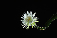 Night-blooming Cereus (Acanthocereus tetragonus), Hill Country, Central Texas, USA