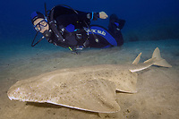 woman scuba diver and angelshark or monkfish, Squatina squatina, critiacally endangered spcies, El Cabron Marine Park, Arinaga, Gran Canaria, Canary Islands, Spain, East Atlantic Ocean