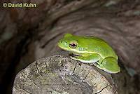 0605-0907  American Green Treefrog Climbing Tree at Outer Banks North Carolina, Hyla cinerea  © David Kuhn/Dwight Kuhn Photography