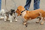 Bassett hound and Shih tzu kissing.