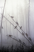 Common Ravens resting on pine snags on a winter morning.  Yellowstone National Park, USA. (Corvus corax).